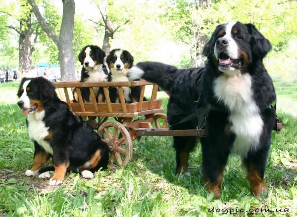 Семья собак породы бернского зенненхунда
