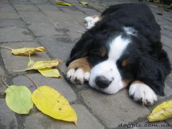Щенок бернского зенненхунда спит в листьях