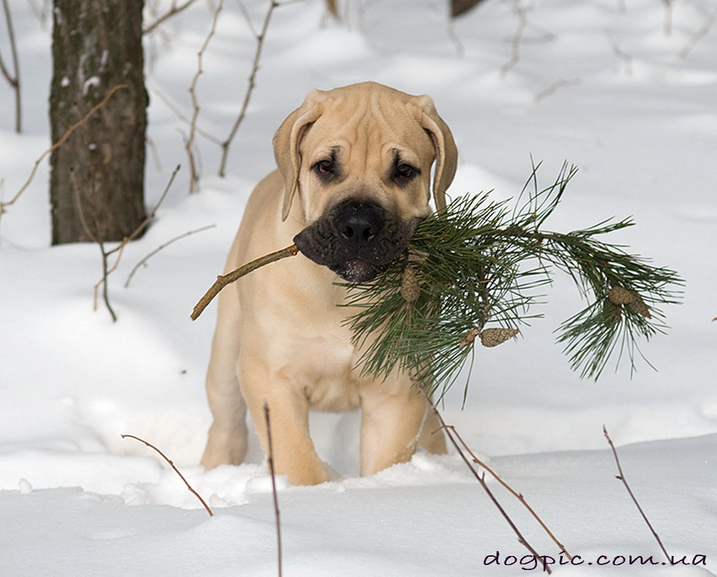 http://dogpic.com.ua/wp-content/uploads/2011/07/httpdogpic.com_.uashhenok-burbul-nesyot-sosnovuyu-vetku.jpg