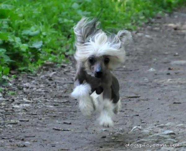 Щенок китайской хохлатой собаки в прыжке