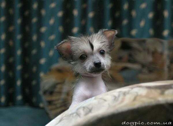 Щенок китайской хохлатой собаки выглядывает