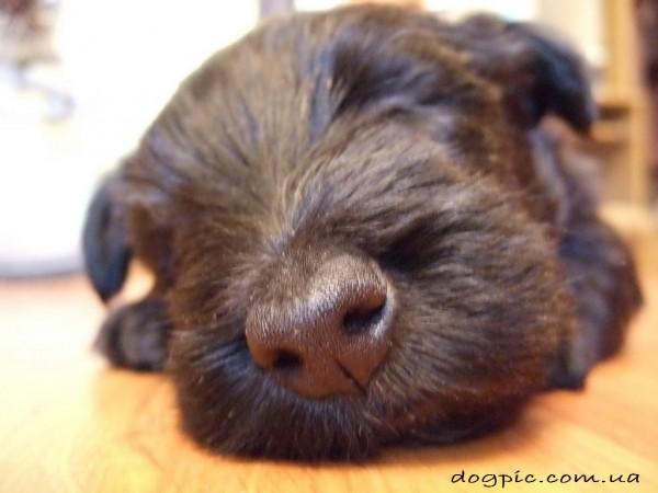 Щенок - малыш породы скотч-терьер сладко спит
