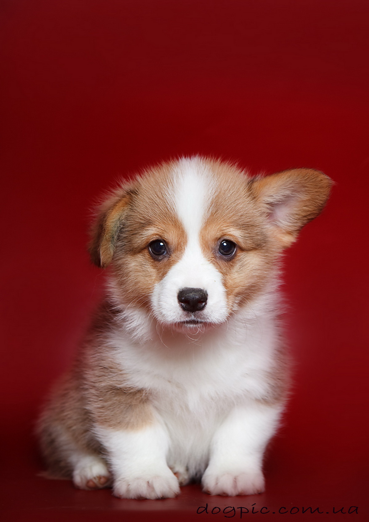 Папильон папийон фото собаки цена описание породы