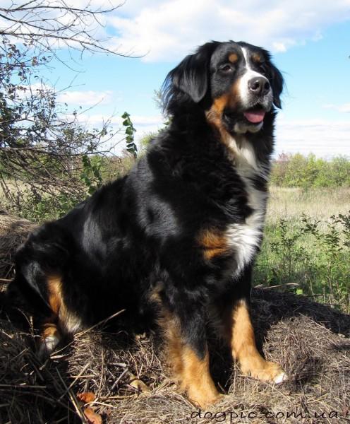 Сильный пёс породы бернского зенненхунда