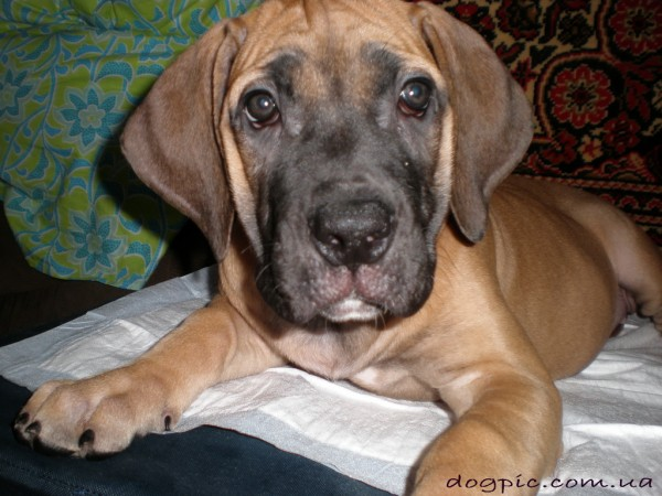 Симпатичный коричневый щенок породы бурбуль