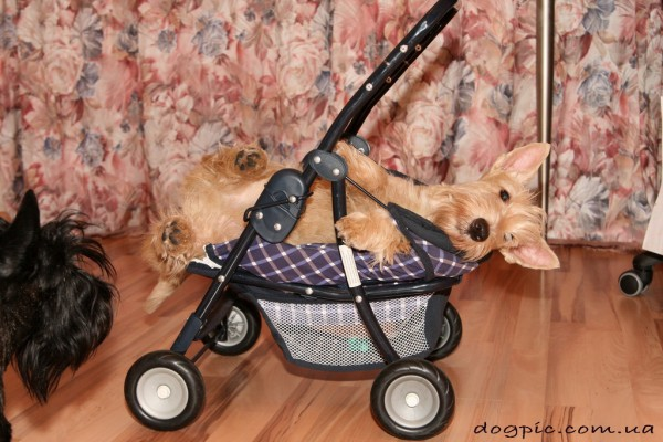 Скотч - терьер лежит в детской коляске