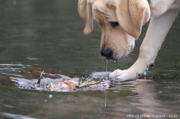 Собака лабрадор - ретривер ловит рыбу в воде