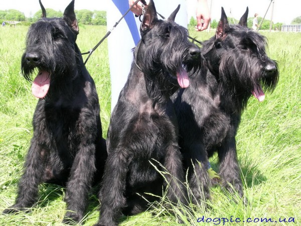 Три взрослые собаки породы ризеншнауцер