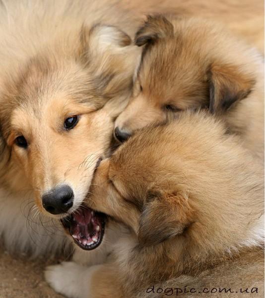 Взрослая шелти играет со своими щенками