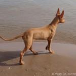 Фараонова собака на песке возле моря