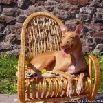 Фараонова собака загорает на кресле