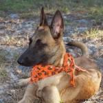 Фото собаки малинуа в оранжевом платке