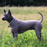 Фото собаки тайского риджбека в полный рост