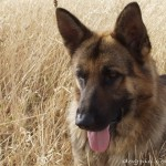 Красивый пёс малинуа в сухой траве