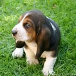 Красивый щенок породы бладхаунда до месяца