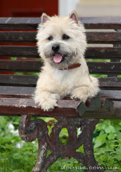 Милый щенок керн-терьера лежит на скамейке