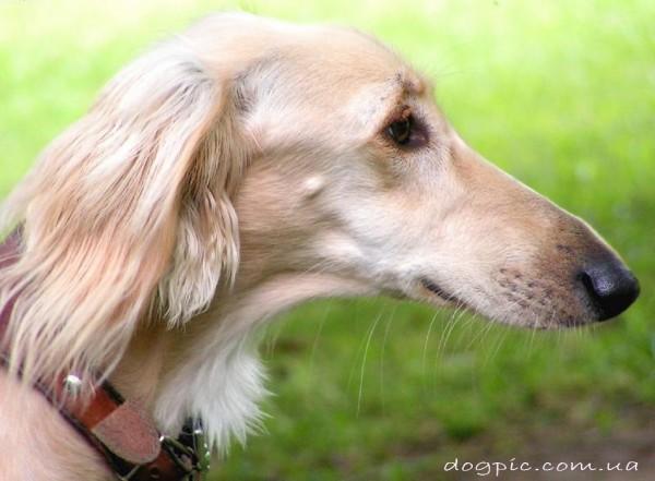 Морда собаки породы салюки