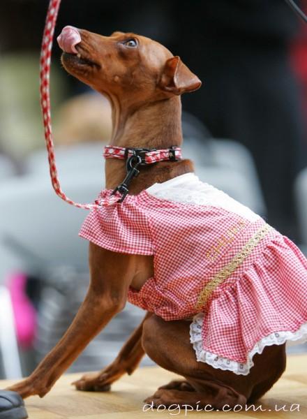 Щенок фараоновой собаки в розовом платье