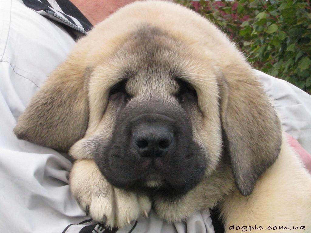 http://dogpic.com.ua/wp-content/uploads/2011/08/httpdogpic.com_.uashhenok-ispanskogo-mastifa-usnul-na-rukax.jpg