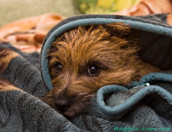 Щенок керн-терьера прячется в полотенце
