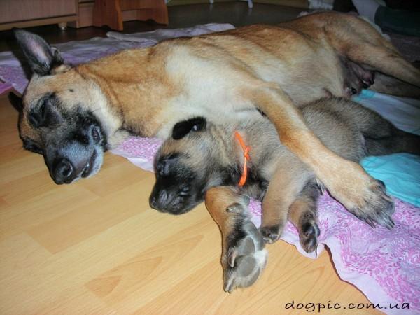 Щенок малинуа спит со своей мамой