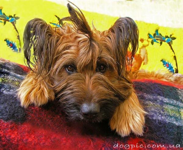 Смешной щенок бриар с хвостиком на голове