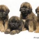 Смешные и симпатичные щенки леонбергера