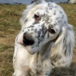 Собака английского сеттера смотрит в объектив