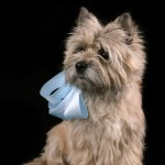 Собака керн-терьер на шее с голубым бантиком