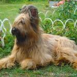 Собака породы бриар в домашнем саду