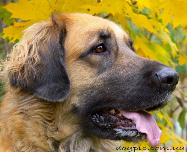 Собака породы леонбергер на фоне жёлтых листьев