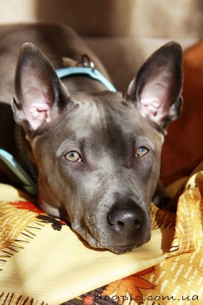 Собака тайского риджбека нагло улеглась на кровати