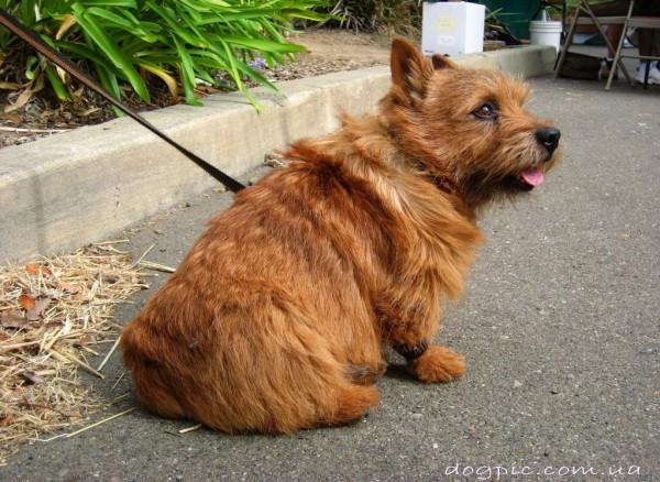 Толстенькая собака породы норвич терьер